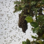 bees-gathering-into-a-ball